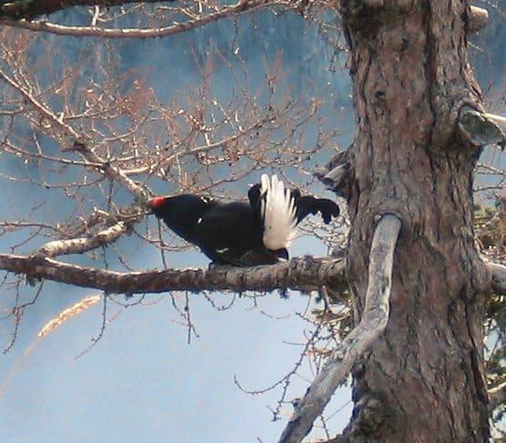 Tétras-lyre perché sur une branche. © Hans Gasperl