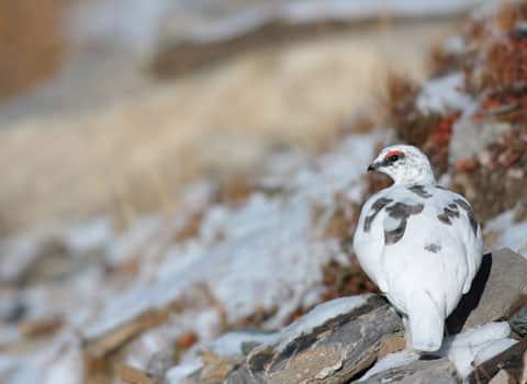 Le tribunal administratif recadre l'autorisation de la chasse au lagopède alpin en Isère et Haute-Savoie