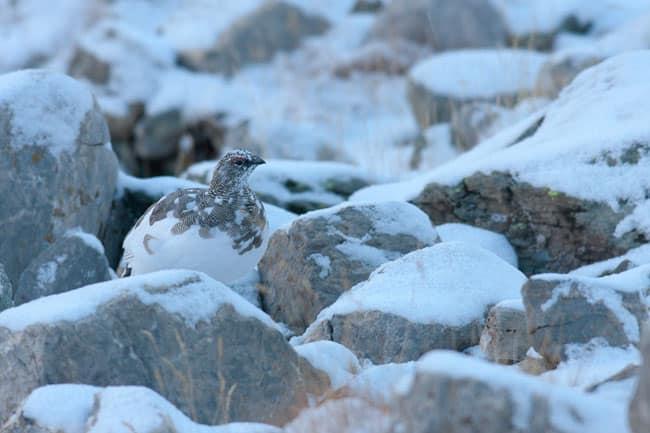 Mimétisme du lagopède alpin en automne. © Denis Simonin