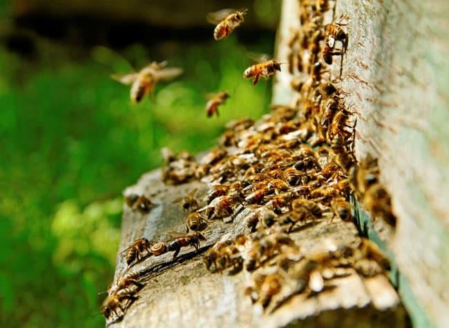 Ruche abeilles et noix avec pesticides Frapna vol