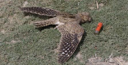 Buse variable tuée par des plombs de chasse LPO