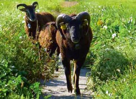 Naturama moutons à la Bastille