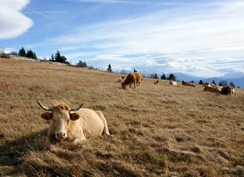 Troupeau de vaches en montagne dans le Vercors. © Paul Turenne - placegrenet.fr