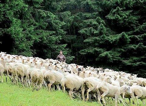 Les 540 brebis de Julien et Chloé est un des troupeaux qui, cet été, ira paître dans le vallon de Combe Madame, sur les hauteurs d'Allevard. © Patricia Cerinsek - placegrenet.fr