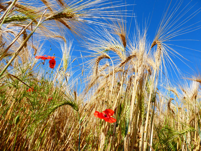 Demain, plus de coquelicots dans nos champs ? © André Weill - Place Gre'net