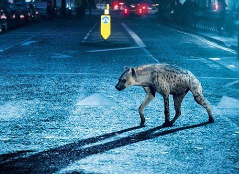Deuxième collaboration entre l'acteur Peter Ferdinando et Gerard Johnson, tous deux britanniques, Hyena nous plonge au cœur de la jungle londonienne, sur fond de drogue et de prostitution. Sans concession, ce polar nous expose ce qu'est la descente aux enfers au cinéma.