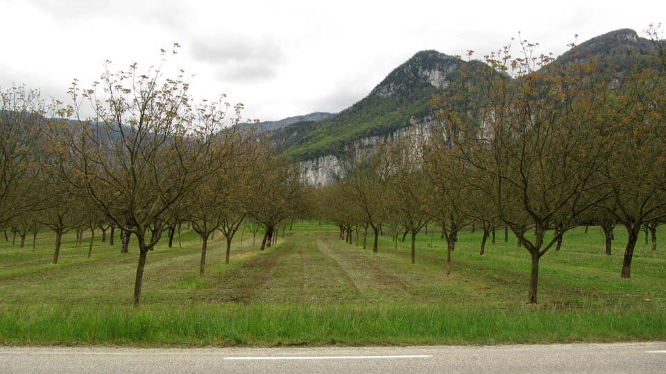 Plantation de noyer, plaine du Bas-Royan entre Grenoble et Valence © Ivan Mazel