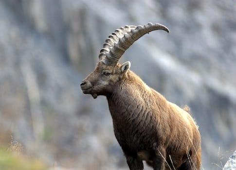Près de la moitié des espèces animales de l'Isère sont menacées ou presque menacées. Crédit AlainGagne - Ligue de protection des oiseaux
