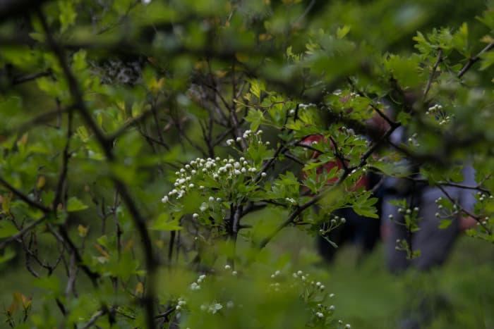 L'aubépine (Crataegus). © Yuliya Ruzhechka - Place Gre'Net