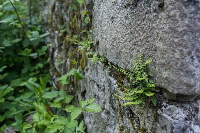 La capillaire des murailles (Asplenium trichomanes). © Yuliya Ruzhechka - Place Gre'Net