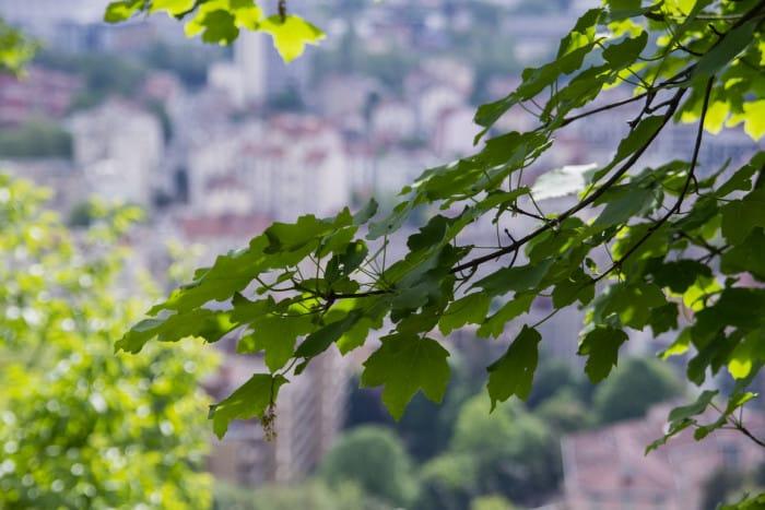 L'érable à feuilles d'obier. © Yuliya Ruzhechka - Place Gre'Net