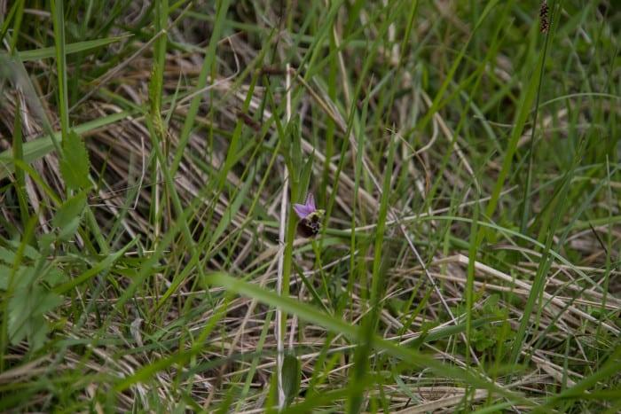 L'ophrys bourdon. © Yuliya Ruzhechka - Place Gre'Net