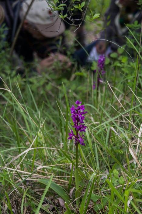 L'orchis mâle. © Yuliya Ruzhechka - Place Gre'Net