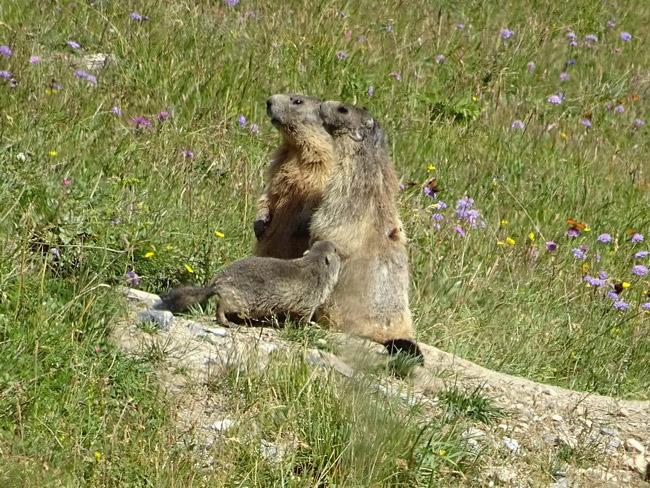 Famille de marmottes dans le Queyras. © André Weill