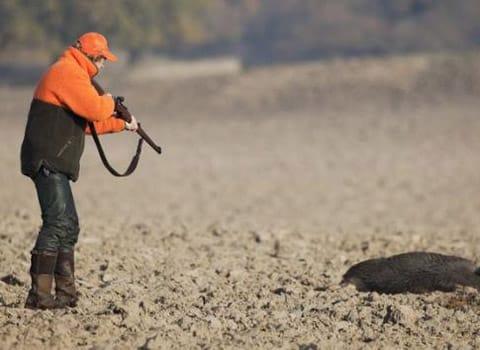 Pour faire face à la surpopulation de sangliers en Isère, les chasseurs sont autorisés à les tirer dès le 1er juillet et ce durant tout l'été. Sauf le dimanche.