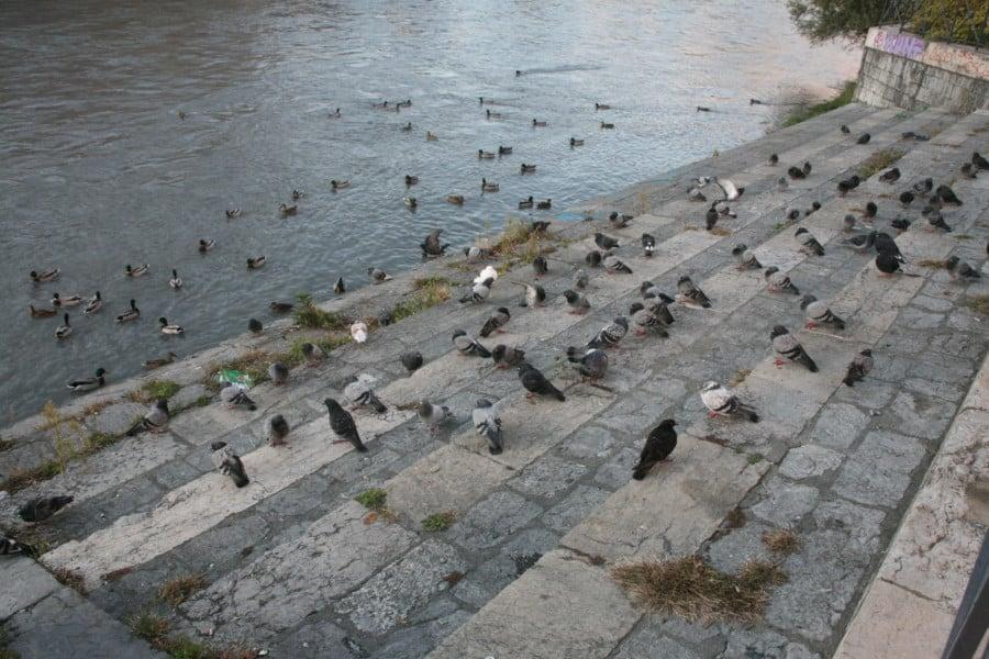 Pigeons et canards cohabitent sur les quais au petit matin © Florent Mathieu - Place Gre'net