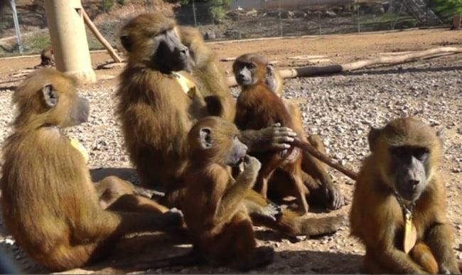 Image in situ des babouins enregistrés © Caralyn Kemp et Julie Gullstrand / Laboratoire de psychologie cognitive (CNRS/AMU).