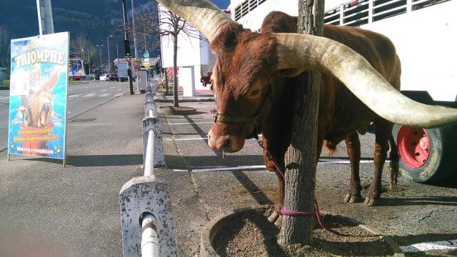 Longhorn du Nouveau Cirque Triomphe attaché avec une corde courte, Fontaine © Place Gre'net
