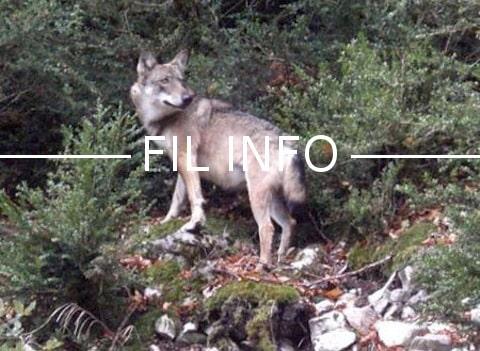 Même si en un an le nombre de loups en France a fait un bond de 20 % il n'atteint pas encore le seuil de viabilité fixé à cinq cents.