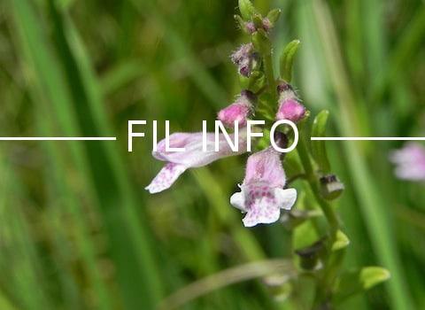 Si le sort du Center parcs de Roybon n'est pas scellé, celui de la petite scutellaire, une fleur protégée, si. Les procédures suivent leurs cours...