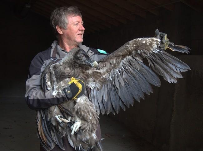Après la marmotte, le bouquetin et le vautour fauve, le parc naturel régional du Vercors s'emploie à réintroduire le gypaète barbu avec un cinquième lâcher.Deux jeunes gypaètes de 3 mois ont été lâchés dans le Vercors début juin portant à onze le nombre d'oiseaux réintroduits dans le parc depuis 2010.