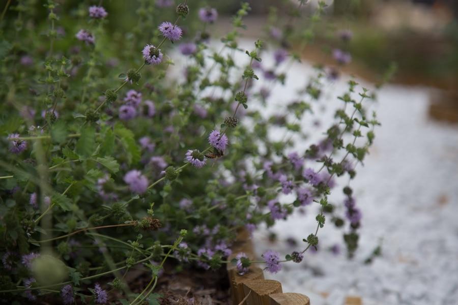Visite du nouvel espace m di val du jardin de plantes m dicinales dominique villars place gre 39 net - Pharmacie du jardin des plantes ...
