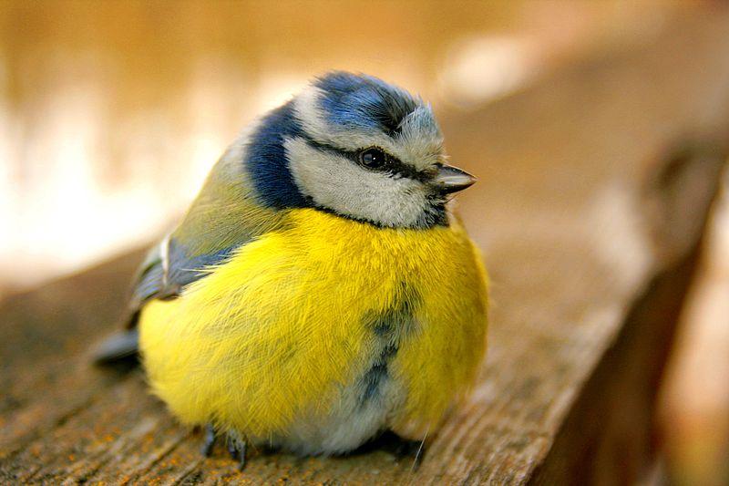 La mésange bleue, prédatrice de la pyrale du buis ou de la chenille processionnaire. DR