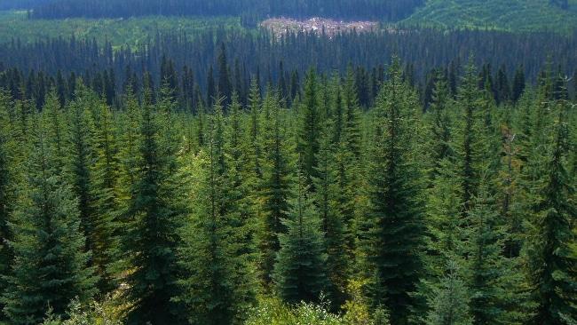 Forêt de résineux. L'ONF craint une industrialisation de la forêt française .© Jupiter Films
