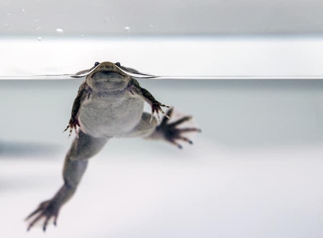 Alors que l'espèce est en déclin, des chercheurs grenoblois viennent de démontrer que les amphibiens sont plus impactés que d'autres espèces par les perturbateurs endocriniens (ici, un Xénope tropicalis adulte) © Muriel Raveton