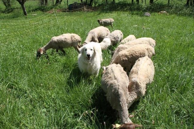 La Bastille de Grenoble fête le pastoralisme sur quatre dimanches après-midi, du 15 avril au 13 mai, à l'occasion de la venue d'un troupeau sur son site.© Grenoble-Bastille
