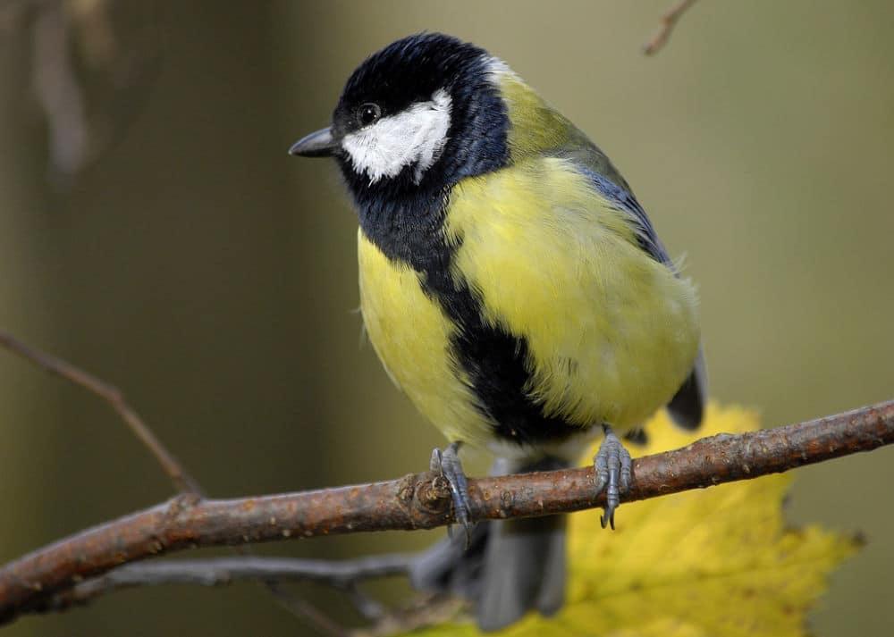 La LPO et le Muséum national d'Histoire naturelle invitent les personnes disposant d'un jardin à participer à un comptage d'oiseaux les 26 et 27 mai 2018.Une mésange charbonnière, espèce présente en Isère. DR