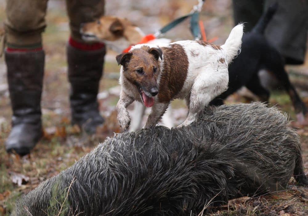 Chiens de chasse @ Fédération départementale des chasseurs de l'Isère