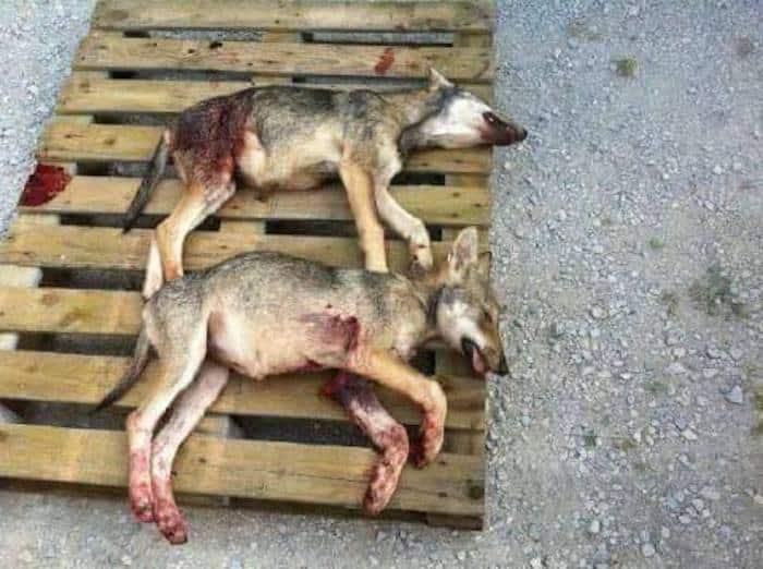 Deux louveteaux loups abattus à Chichilianne en septembre 2016. L'arrêté préfectoral autorisant l'abattage a par la suite été déclaré illégal. DR