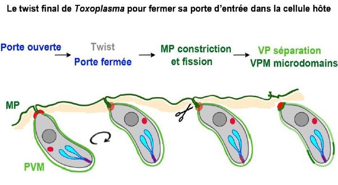 Le parasite, une fois rentré dans la cellule, effectue une rotation qui lui permet de refermer la porte qu'il avait ouverte. Ce mouvement l'isole également dans une vacuole, une poche où il va nicher pour continuer à se développer. © Isabelle Tardieux - IAB