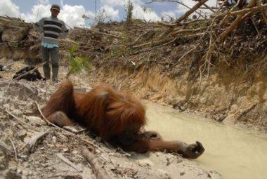 Orang-outan menacé par la déforestation. DR