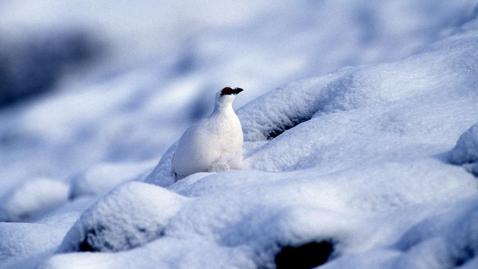 Le lagopède alpin ne résistera pas au réchauffement climatique dans les Alpes © Robert Chevalier - Parc national des Ecrins