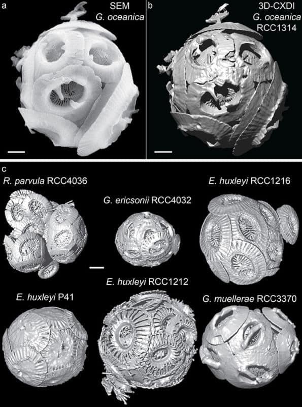 Structures des coccosphères obtenues par imagerie par diffraction cohérente des rayons X à l'ESRF .(A) SEM image de G. oceanicaRCC1314. (B) 3D-CXDI vue de G. oceanicaRCC1314. (C) 3D-CXDI vues de six autres coccosphères. Echelle= 1μm. © Thomas Beuvier, ESRF, IMMM, CNRS UMR 6283, Le Mans Université