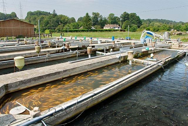 Si la pêche en mer doit prendre fin pour L214, la pisciculture ne trouve pas non plus grâce à ses yeux. DR