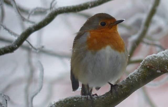 Le rouge-gorge est l'oiseau le plus observé dans les jardins isérois. DR