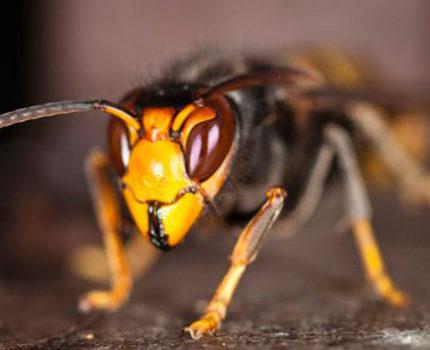 Le frelon asiatique nommé aussi frelon à pattes jaunes. © GDS 38