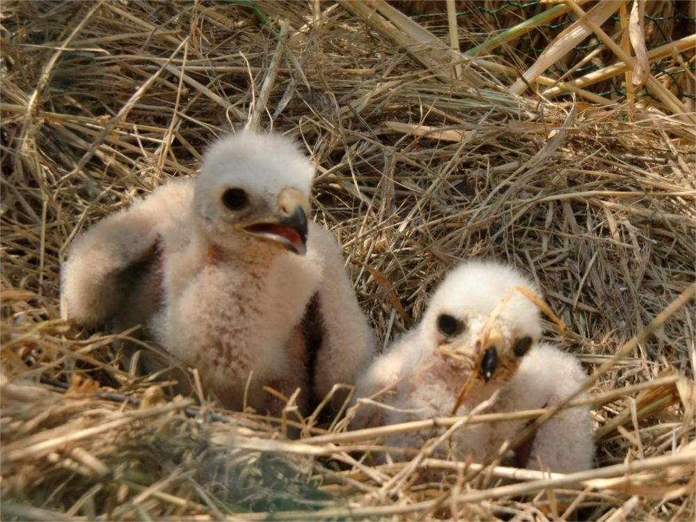 De jeunes busards cendrés dans leur nid © LPO Auvergne-Rhône-Alpes
