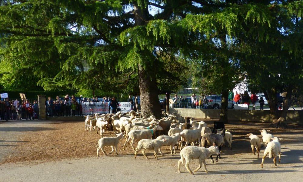 Les élèves ne sont pas des moutons, mais certains moutons sont bel et bien des élèves © Crêts-en-Belledonne Facebook