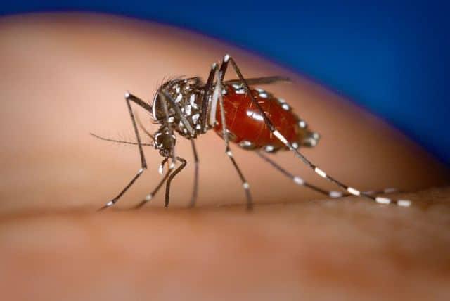L'année 2020 a battu les records de cas recensés de maladies transmises par le moustique tigre en Auvergne-Rhône-Alpes. DR