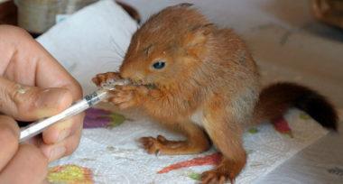 Le Tichodrome reçoit chaque année davantage de pensionnaires : martinets, écureuils, hérissons, fouines, chauve-souris, chouettes, buses… © DR2