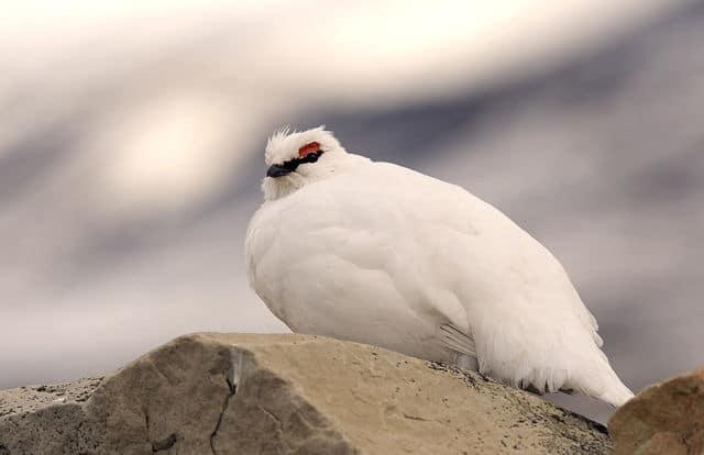 Le plumage d'hiver du lagopède alpin. DR