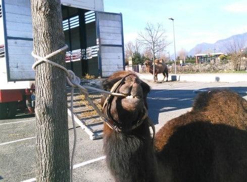 Les images des animaux attachés en bord de route du cirque Triomphe à Fontaine avaient choqué. © Place Gre'net