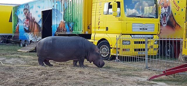 Hippopotame Jumbo du cirque Muller © One Voice
