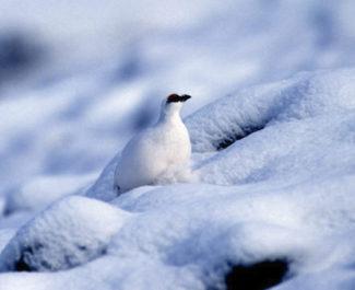 La chasse au lagopède alpin reste autorisée. Le tribunal administratif de Grenoble a rejeté les recours en référé de la LPO le temps de se prononcer au fond