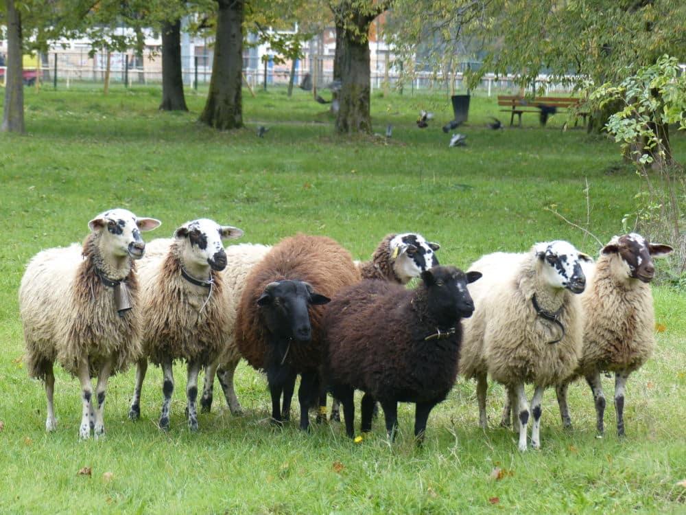 Des Moutons en charge de l'éco-pâturage dans le parc des Champs-Élysées de Grenoble en 2019 ©Manon Heckmann - Place Gre'net