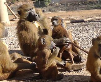 Selon les chercheurs, les langues parlées auraient pu évoluer à partir d'anciennes compétences articulatoires déjà présentes chez notre dernier ancêtre commun avec les primates, il y a environ 25 millions d'années. © Caralyn Kemp et Julie Gullstrand / Laboratoire de psychologie cognitive (CNRS/AMU)